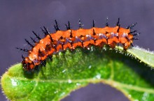 A Tale of Two Caterpillars